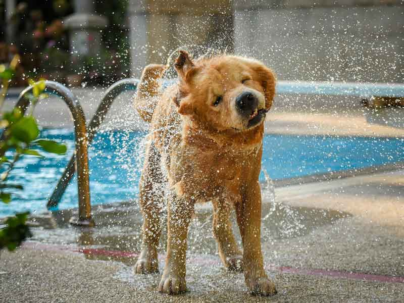 dog-shaking-off-water-by-swimming-pool_webopt